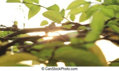 Sunrise Leaves Slider 1 - sun seen through leaves slider...