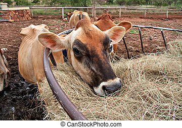 jersey cow - ill thin jersey dairy cow on farm eating hay