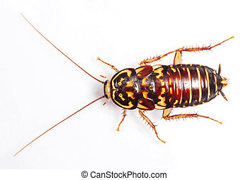 Harlequin Cockroach - Neostylopyga Rhombifolia isolated on...