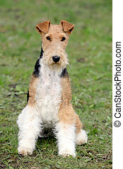 Fox Terrier Wire in the autumn garden - The portrait of Fox...