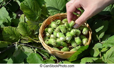 hand pick hazel nut - hand picks collect gather ripe hazel...