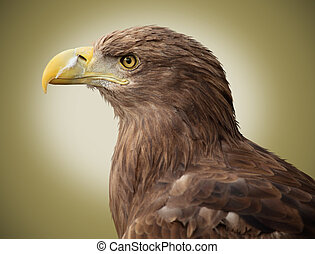 Haliaeetus albicilla - picture of a beautiful european eagle...