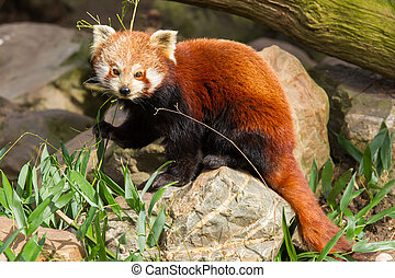 The Red Panda, Firefox or Lesser Panda Ailurus fulgens