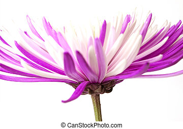 Purple chrysanthemum. Isolated on white background - Purple...