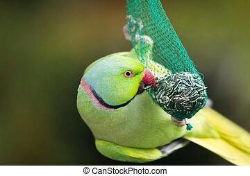 The Rose-ringed Parakeet (Psittacula krameri) on some seeds...