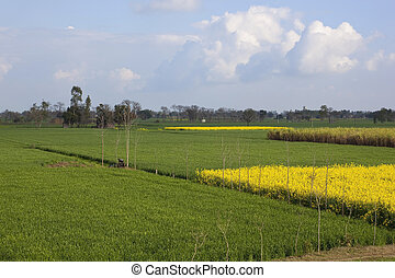 Punjabi countryside - patchwork fields of wheat yellow...