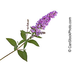 Spray of purple flowers from a butterfly bush against white...