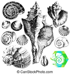 Seashells - Hand drawn collection of various seashell...