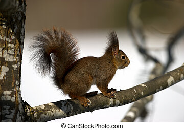 The red squirrel Sciurus vulgaris in the oak - A closeup of...