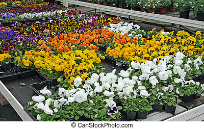potted flowers with petals multicolor for sale in a...