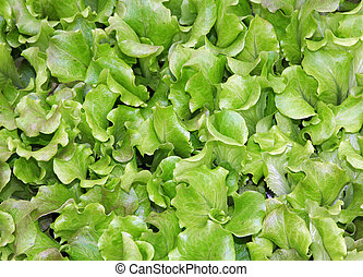 green leaves of lettuce and salad box for sale in the grocery market