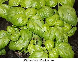 green basil leaves on a plant in a pot in the kitchen