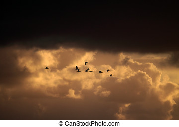 Cormorant migration - Flock of cormorant flying over...