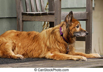 Faithful Old Friend - A mangy yellow dog looking for his...