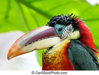 tropical bird - colorful rainforest bird