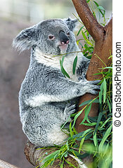 koala on eucalyptus tree