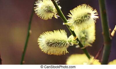 Willow buds, macro shot.