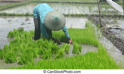 On rice field - Man working on rice farm in Bali