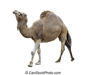 Single-Humped Camel On White Background