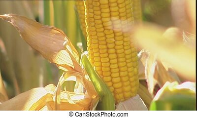 Ripe corn on the cob with the outer leaves peeled back to...
