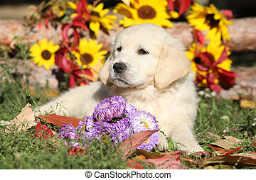 Golden Retriever Puppy lying between flowers