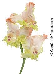 gladiolus - Studio Shot of Orange and Green Colored...
