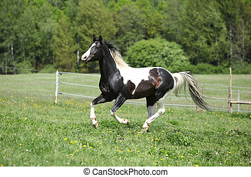 Paint horse stallion running freely on green background