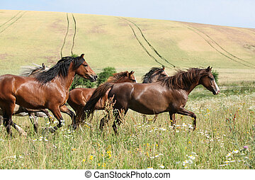 Herd of running horses in front of fields