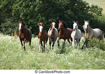 Herd of horses in flowers - Herd of horses running freely in...