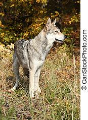 Saarloos Wolfhound in autumn