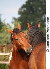 Two brown horses nuzzling each other tenderly