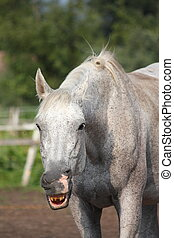 Funny gray horse yawning portrait in summer