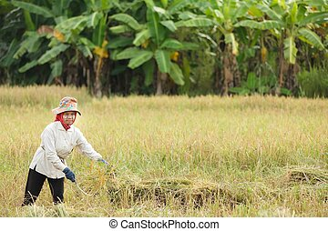 Farmer harvesting rice - Burmese woman harvesting rice in...