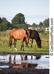 Two horses standing near the water on the pasture in summer