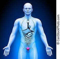 Medical Imaging - Organs - Bladder