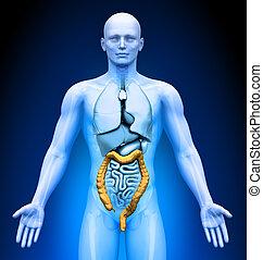 Medical Imaging - Organs - Colon