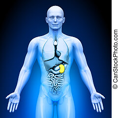 Medical Imaging - Organs - Spleen - Medical Imaging - Male...