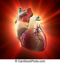 Real Heart Shinning - Anatomy model - Real Heart Shinning in...