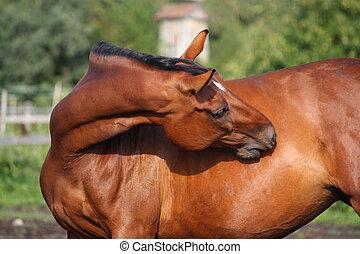 Marrom, cavalo, arranhando, itself, pasto