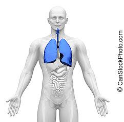 Medical Imaging - Organs - Lungs