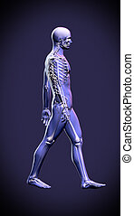 Walking man - anatomy skeleton study concept