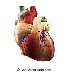 Real Heart - Human Anatomy model - Real Heart Isolated on...