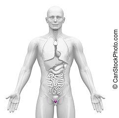 Medical Imaging - Organs - Prostate