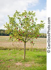 Apple tree is full of red ripe apples. Many of the fruits...