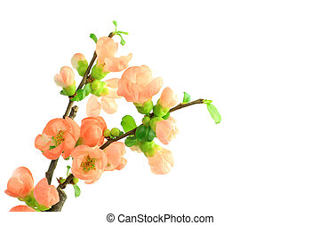 Japanese quince - I took a Japanese quince in a white...