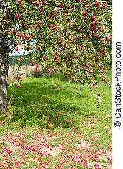 Apple tree - Branches of an apple tree are full of red ripe...
