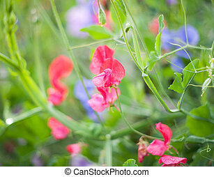 Sweet pea (Lathyrus odoratus) blooming in the garden. Very...