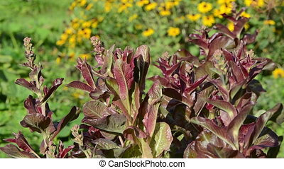 salad leaf grow garden - beautiful salad leaves sunlighted...