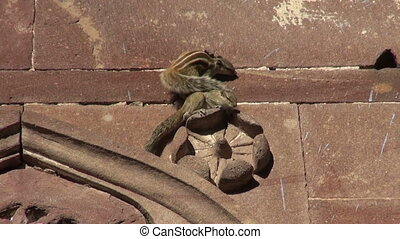 two indian palm squirrel on wall