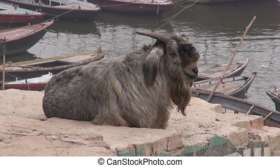 old goat on Ganges river coast